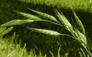 bromus hord spikelets
