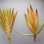 Sterile (l) and fertile (r) spikelets of Cynosurus