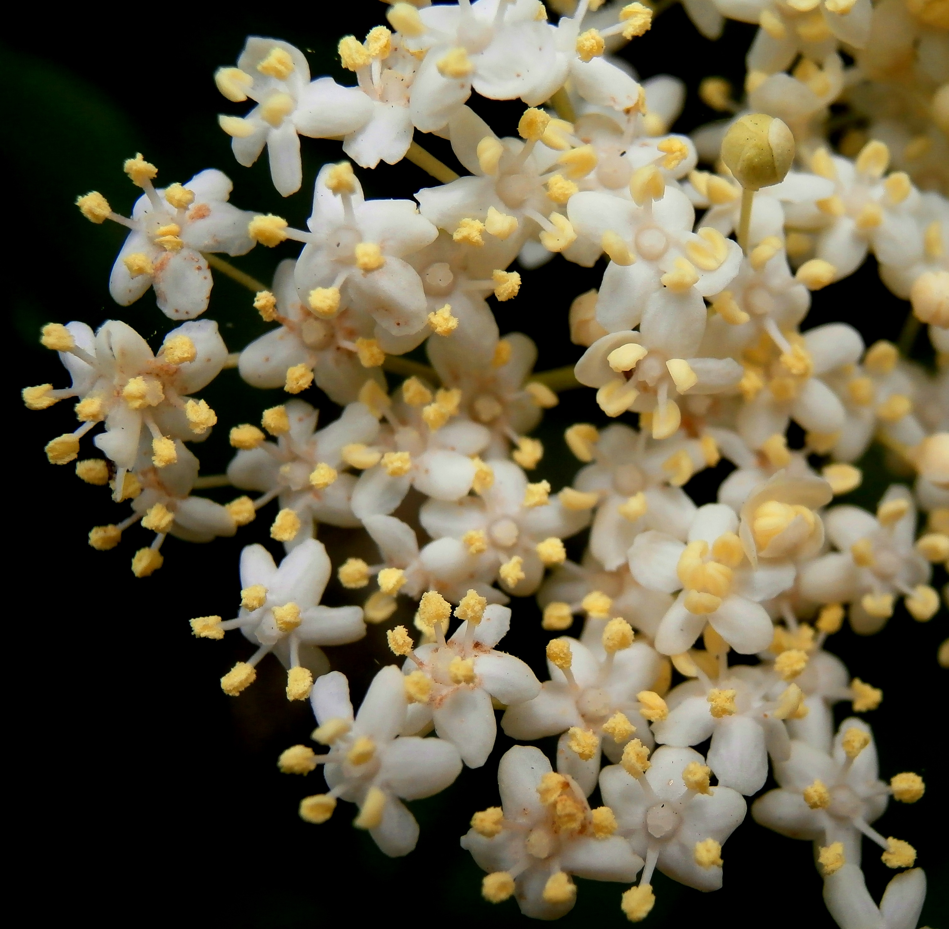 White Flowered Trees In The Hedgerow 3 The Elder Tree Sambucus