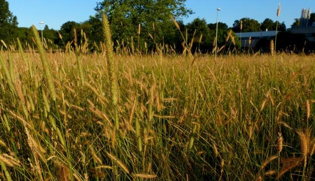 grasses 1