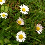 Bellis perennis (Daisy)