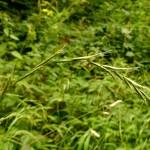 Brachypodium sylvaticum raceme