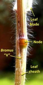 """The Bromus """"V"""""""