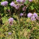 Cirsium arvense (Creeping Thistle)