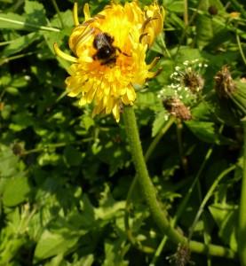 Taraxacum officinalis agg (Dandelion)