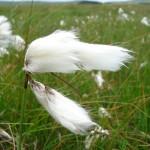 Eriophorum angustifolium (Common Cotton-grass)