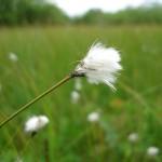 Eriophorum vaginatum (Hare's-tail Cotton-grass)