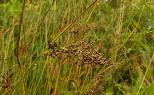 Juncus inflexus plant