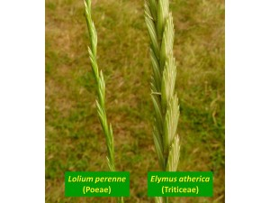 Lolium and Elymus
