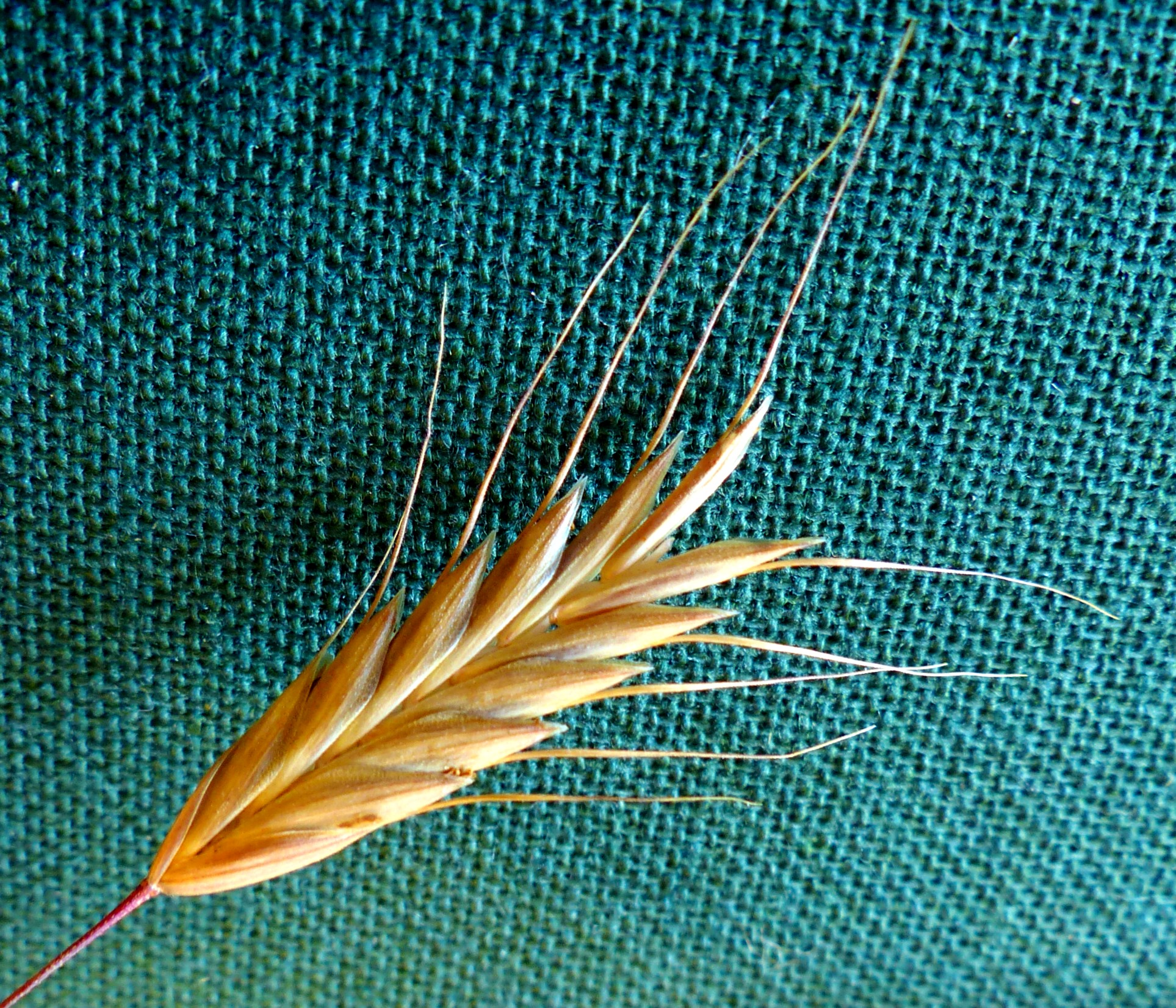 A Brome Grass Spikelet And Sub Terminal Awns