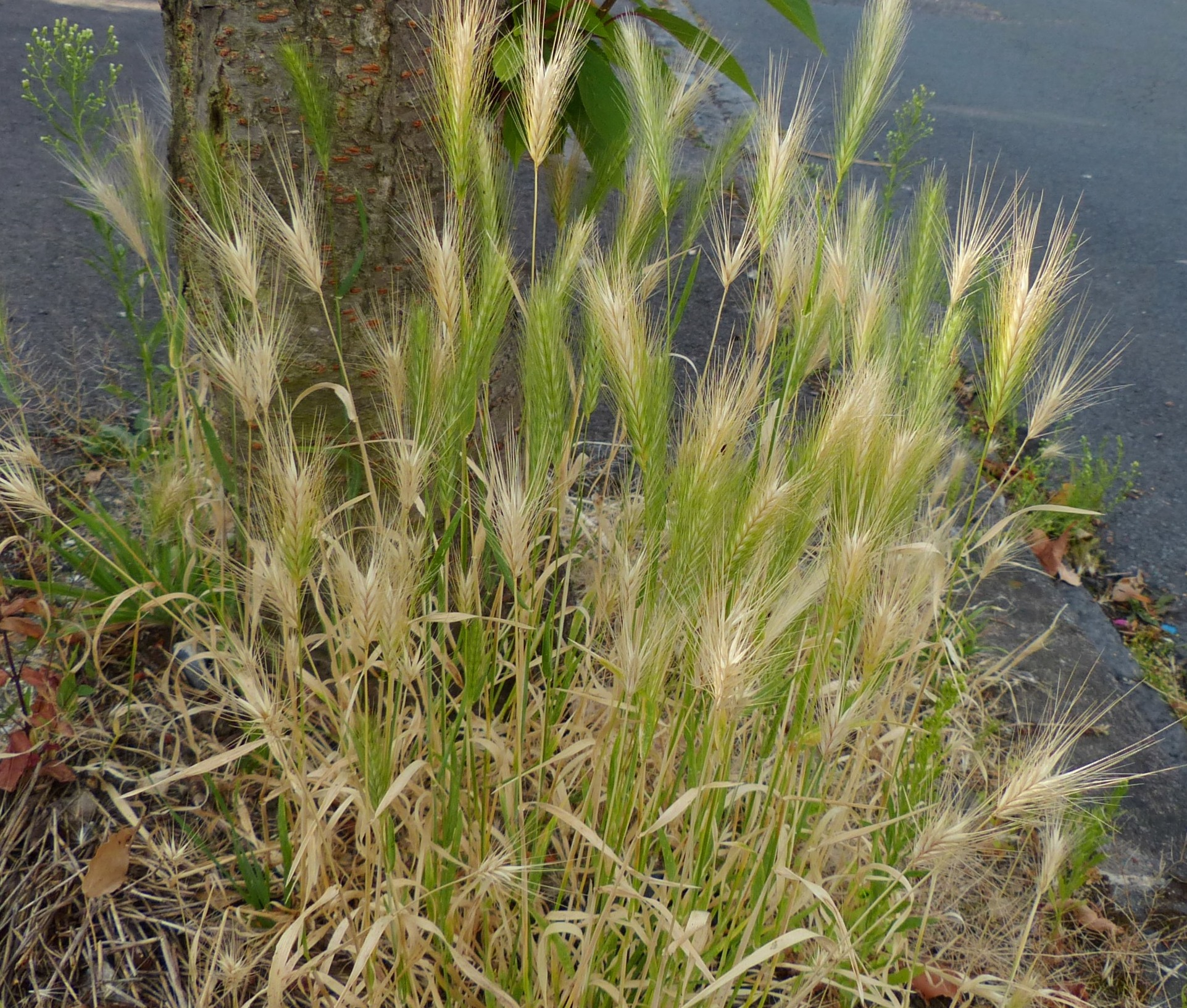 Grass identification the tribes of grasses 4 triticeae for Ornamental grass that looks like wheat