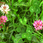 Trifolium repens (White Clover) and Trifolium pratense (Red Clover)
