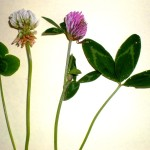 White Clover (l) and Red Clover (r)