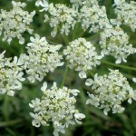 Hogweed flowers and inflorescence