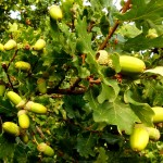 Quercus robur (Common Oak) - Acorns