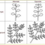 Q3: How are leaves arranged on the stem?