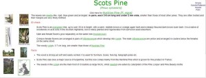 Info sheet on Scot's Pine