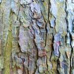 Reddish, flaking bark of Aesculus hippocastanum (Horse Chestnut)