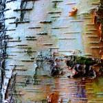 White, peeling bark of Betula pendula (Silver Birch)
