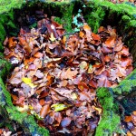 Fagus sylvatica (Beech) leaves, but lots of others too in this tree stump
