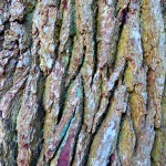 Grey, deeply fissured bark of Quercus robur (Common Oak)