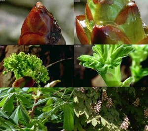 aesculus time lapse