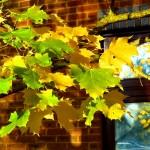 Yellow - Acer platanoides (Norway Maple)