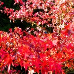 Brilliant red - Liquidambar styraciflua (Sweet Gum)