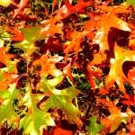Brown/red - Quercus rubra (Red Oak)