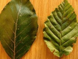 Beech leaf (l), Hornbeam leaf (r)