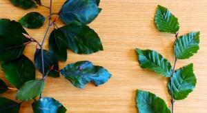 Fagus twig (l), Carpinus twig (r)