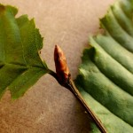 Carpinus betulus (Hornbeam) brown, oval buds