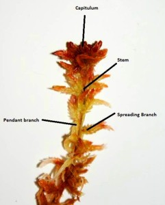 Sphagnum labelled plant
