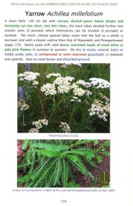 Averis Achillea