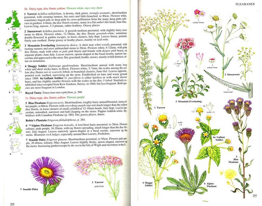 Blamey Et Al Achillea Wild Flowers Of Britain And Ireland
