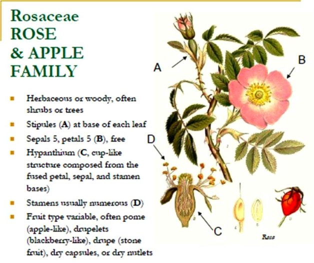 Pics For Gt Rosaceae