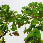 03 Euphorbia peplus
