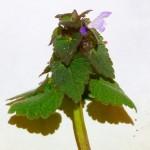 06 Lamium purpureum