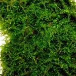 1 Kindbergia praelonga