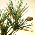 18 Pinus sylvestris
