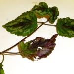 20 Lamiastrum galeobdolon argentatum