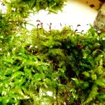 3 Brachythecium rutabalum