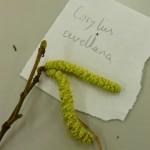 Corylus avellana (Hazel)