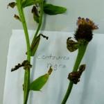Centaurea nigra (Black Knapweed)
