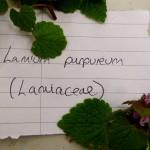 Lamium purpureum (Purple Dead-nettle)