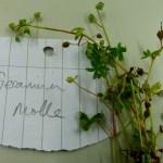 Geranium molle (Dove's-foot Cranesbill)