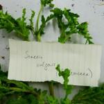 Senecio vulgaris (Groundsel)