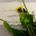 Sonchus oleraceus (Smooth Sow-thistle)