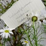 Tripleurospermum inodorum (Scentless Mayweed)