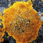 Candellariella sp - crustose lichen